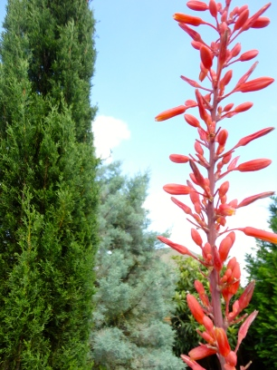 Red Yucca Bloom