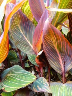 Tropicanna Lily