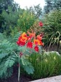 Mexican Pride of Barbados